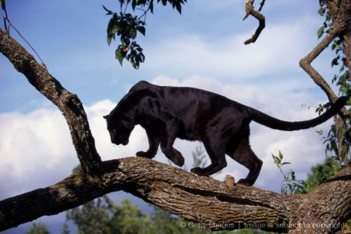 Black panther in tree